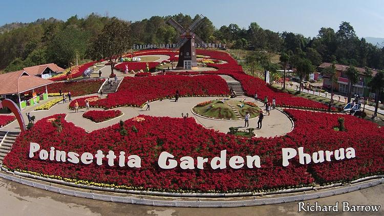 Poinsettia Garden in Phu Rua